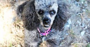 Do Poodles Bite? - picture of poodle