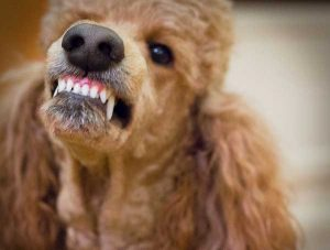 Do Poodles Bite? - picture of biting poodle