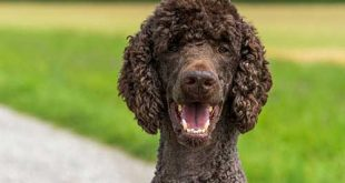 Picture of brown Poodle