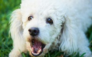 Poodle Barking - picture