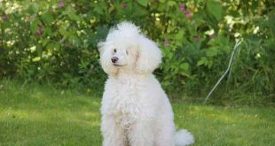 Poodle History and Origin - White Poodle on the grass