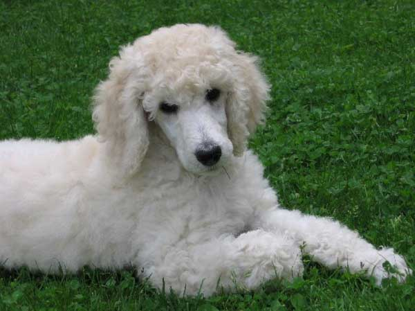Poodle History - picture