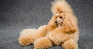 Poodle Temperament - picture