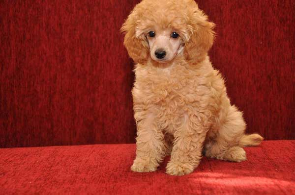 Apricot Poodle Puppy Picture