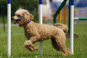 Are Poodles Smart - picture