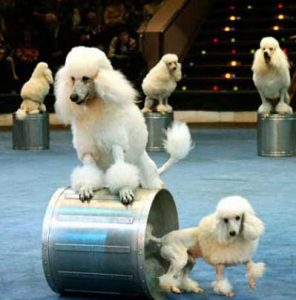 Circus Poodle - picture