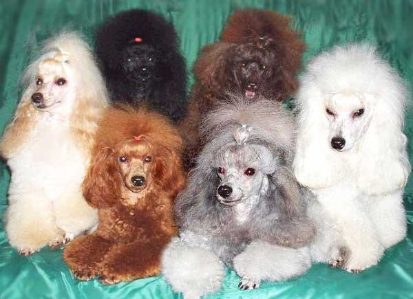 Poodle Colors Toy Miniature And Standard Poodle Colors