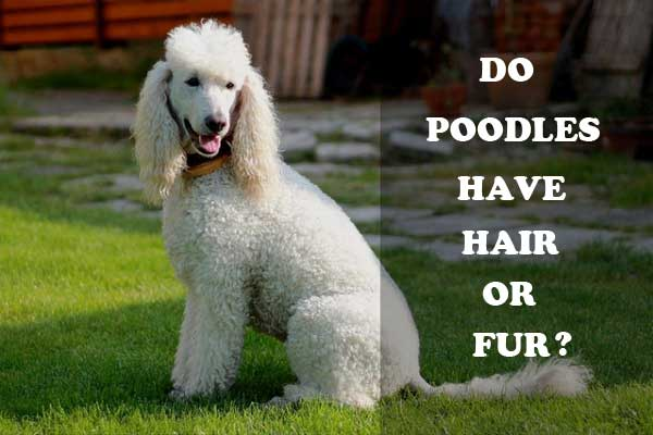 Do Poodles have hair or fur - picture