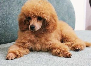 Do Poodles Shed - picture