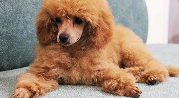 Do Poodles Shed A Lot Standard Toy Miniature Poodle