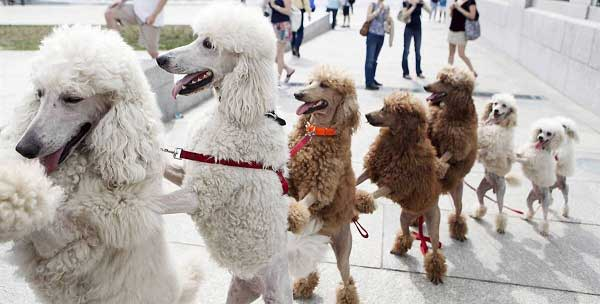 How smart are Poodles - picture