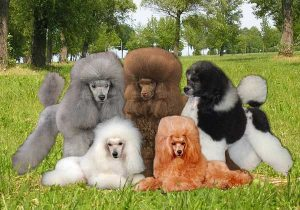 Poodle colors - picture