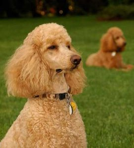 Poodle Intelligence - picture