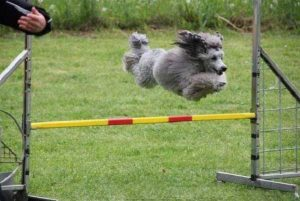 Training a Poodle - picture