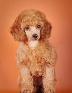 Toy Apricot poodle - picture