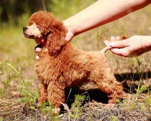 Miniature red Poodle - photo