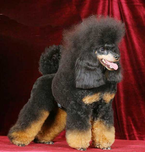 Phantom Poodle - picture