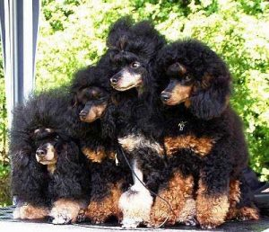 Phantom Poodles - picture