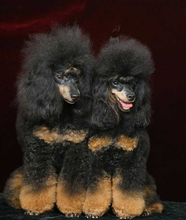 Phantom Poodles What Is A Phantom Poodle Poodle Zone