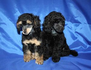 Phantom toy Poodle - picture