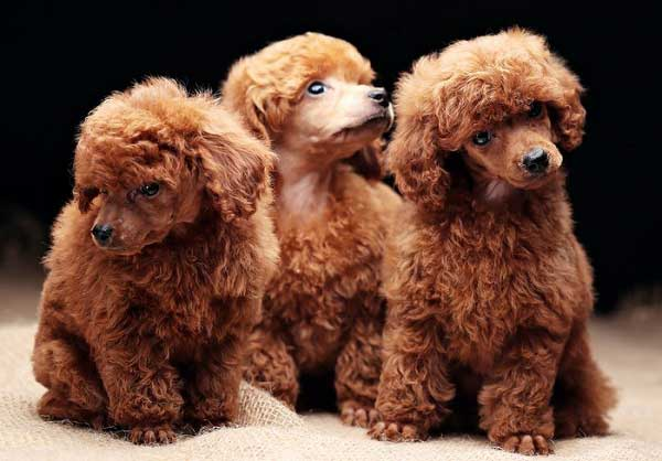 Red Poodle Puppies - picture