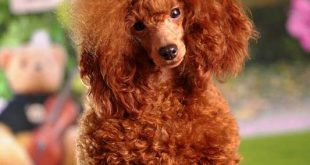 Red Poodles - picture