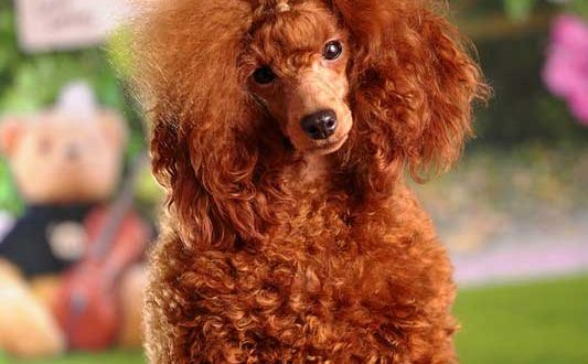 Red Poodles Standard Miniature And Toy Red Poodle Poodle Zone