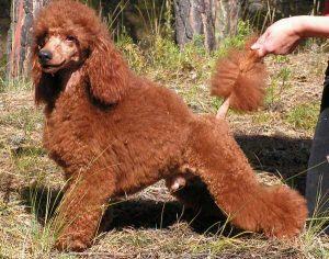 Standard Red Poodle - picture