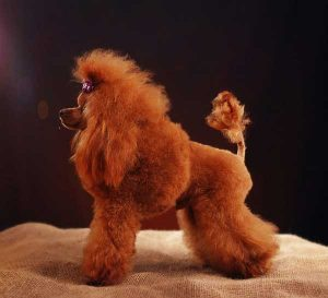 Toy red Poodle - picture