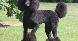 Black Poodle - picture