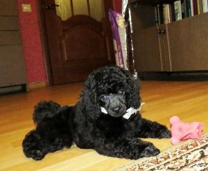 Black Poodle Puppy - picture