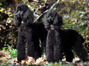 Picture of two Black Poodles
