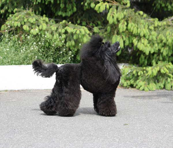 Miniature Black Poodle - picture