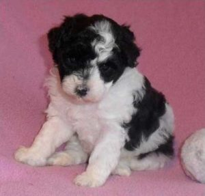 Parti Poodle puppy  - photo