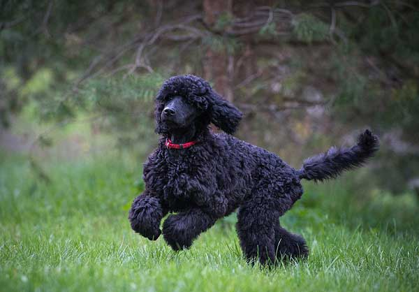 Standard black poodle - photo