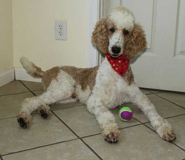 Standard Parti Poodle - photo