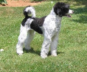 Ticking Poodle - picture