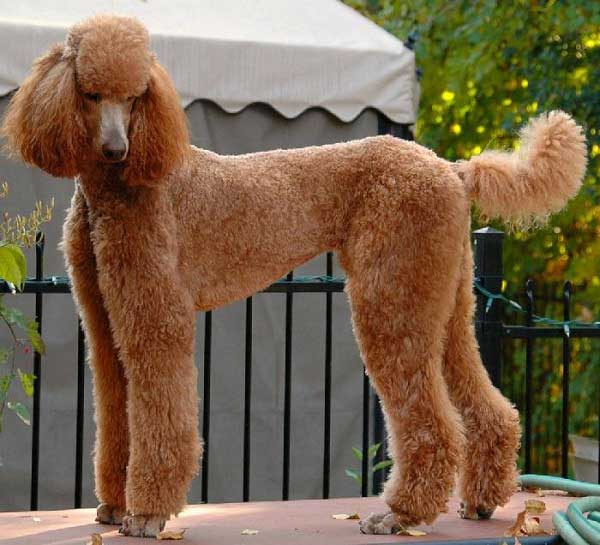 Here are more Toy, Miniature and Standard Poodle haircuts pictures:
