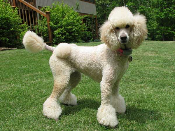 Poodle Haircuts Standard Miniature And Toy Poodle Hairstyles Over