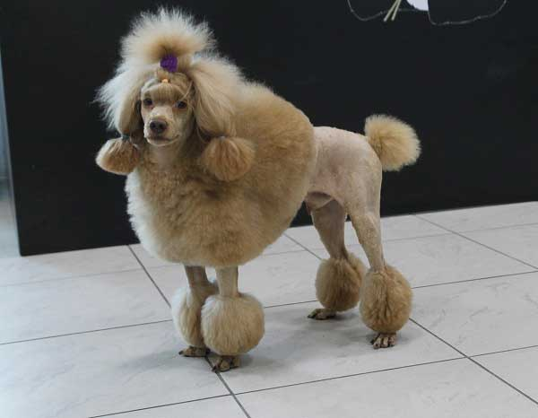 Poodle Haircuts Standard Miniature And Toy Poodle
