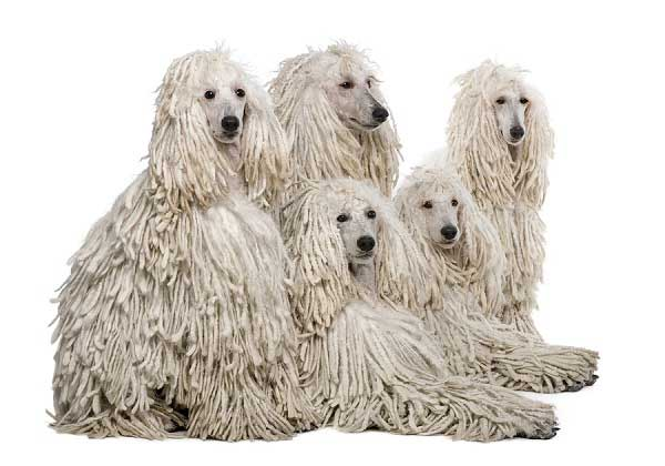 Poodle Corded coat - picture