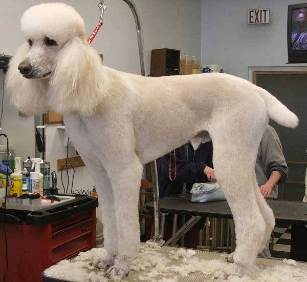 Poodle Dutch cut - photo