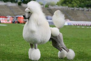 Poodle Haircuts - picture