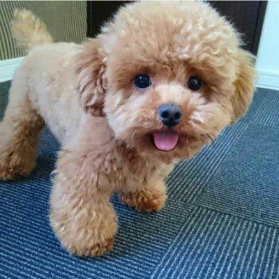 Poodle Puppy Cut - picture