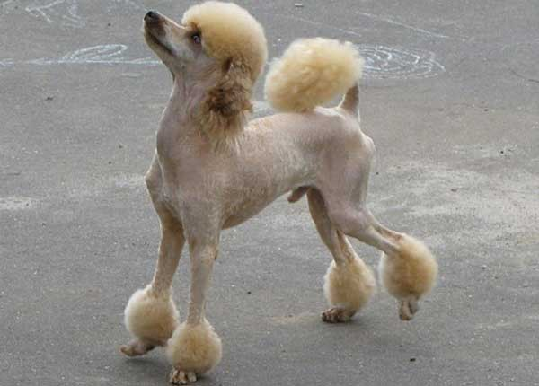 Shaved Poodle - picture
